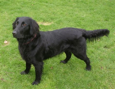 flat coated golden retriever puppies for sale haired black lab retrievers for sale breeds picture