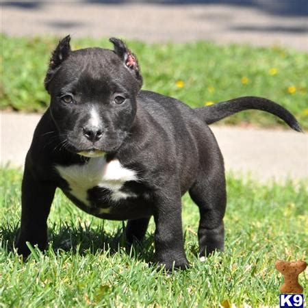 black pitbull puppies for sale american pit bull puppy for sale black bully dont miss out