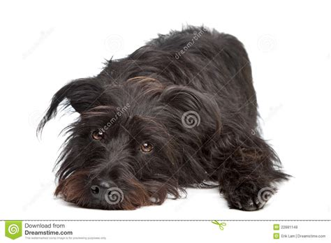black breeds black and white mixed breed dogs breeds picture