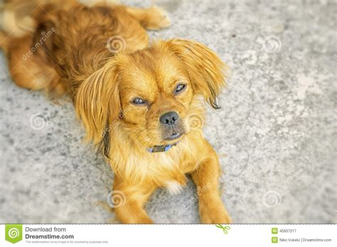 dreamy puppies dreamy puppy stock photo image 45607217