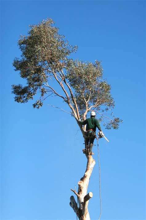 tree fresno ca cut it right tree service tree service fresno trimming