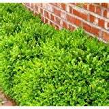amazon com evergreen zone 8 shrubs plants seeds