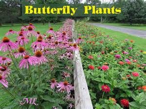 Zone Perennial Garden Plans - butterfly plants list butterfly flowers and host plant ideas