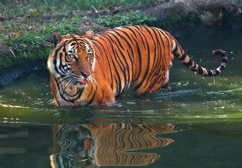 Indochinese Tiger | Noah's Ark | Pinterest
