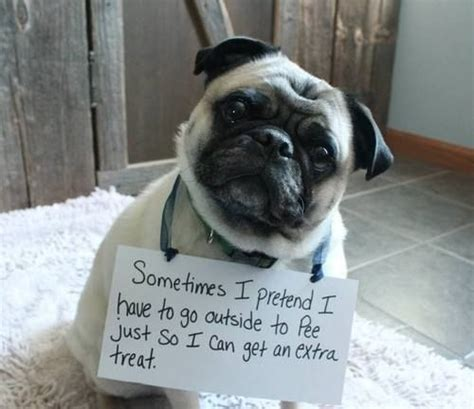 pug potty all pugs learn this trick within one day of potty attempts by katy s