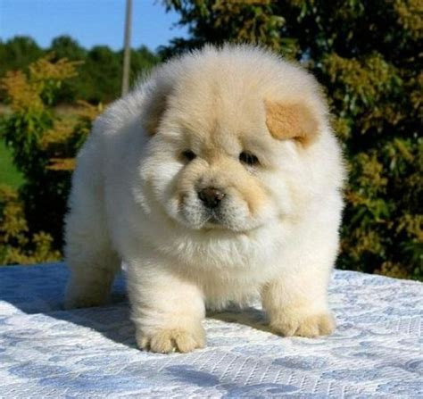 how much are chow chow puppies chow chow breed standards