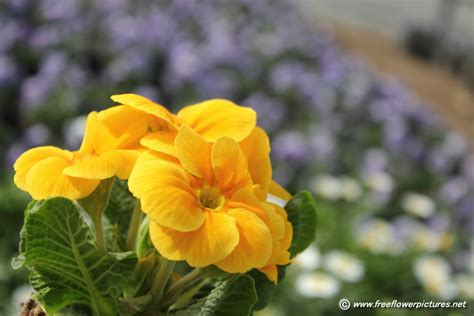 primula flower picture flower pictures 5551