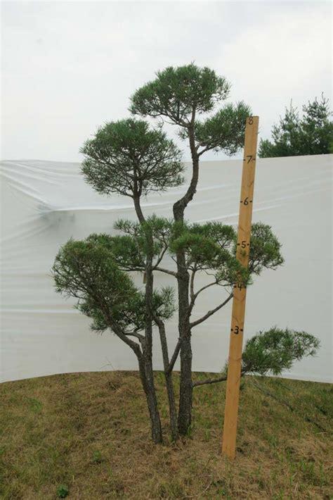 187 scotch pine topiary tree 407 plants beautiful nursery - Scotch Pine Topiary