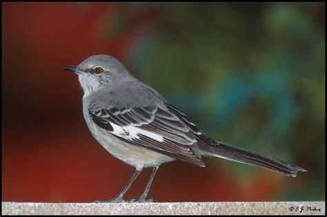 northern mockingbird page