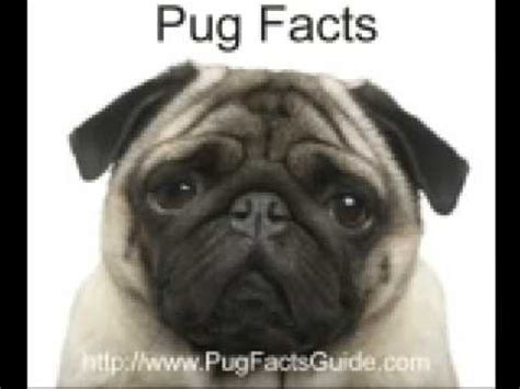 pug care facts pug facts