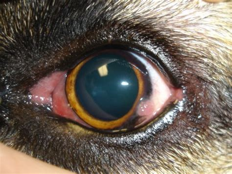 pannus in dogs pics for gt keratitis in dogs