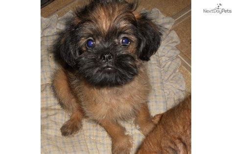 brussels griffon puppy brussels griffon puppies for sale breeds picture