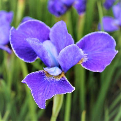 siberian iris silver edge easy  grow bulbs