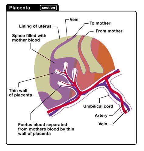 diagram of a placenta diagram of cotyledon diagram of plant elsavadorla
