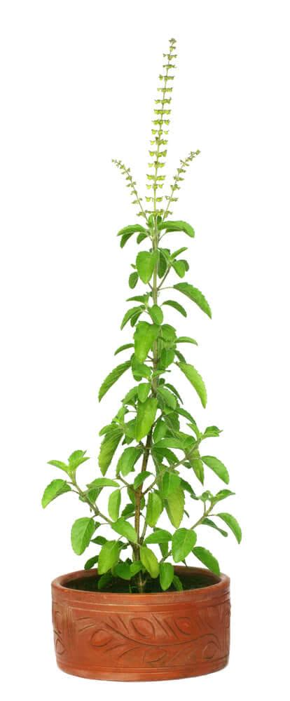Tulsi Basil To Cure Skin Problems by Growing Tulsi How To Grow Holy Basil