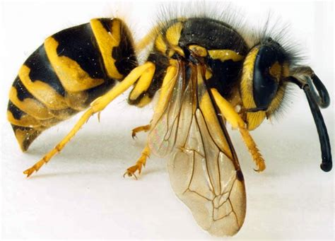visitor pattern c black wasp caes newswire hornets and yellow jackets