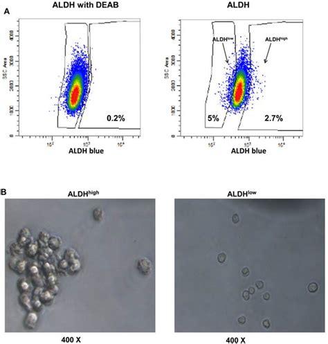 Characterization Of A Novel Transgenic Mouse Tumor Model