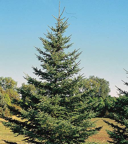 white trees for white spruce tree for sale fast growing trees