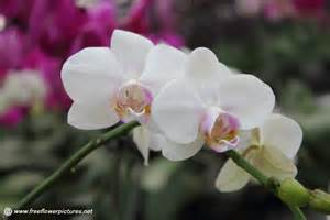 moth orchid moth orchid picture flower pictures 4796