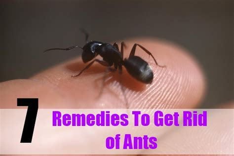remedies to get rid of ants how to avoid ants