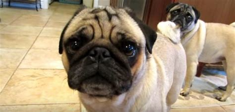 howling pug these pugs howling their favorite is adorable for words page