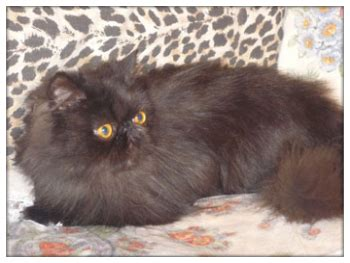 gatte persiane gatte persiane adulte annunci animali trovacuccioli