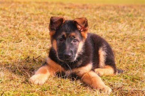 puppy german shepherd puppy dogs german shepherd puppies