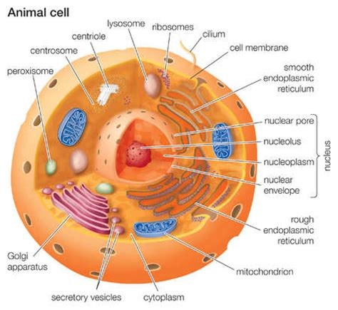 cross section of a animal cell stock illustration cutaway drawing of a eukaryotic