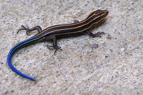 blue tailed skink facts habitat diet life cycle baby pictures