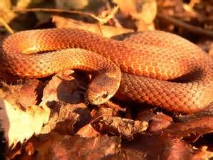 copper colored snake masonic news views pop quiz