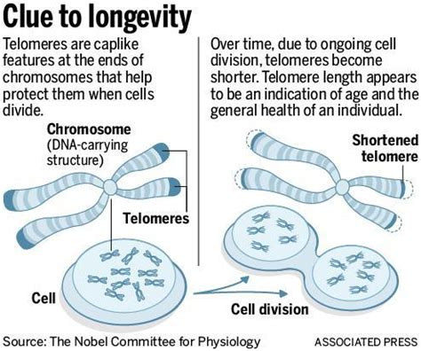 what are telomeres telomere learning center testing for mortality why i measured my telomeres should you the mercury news
