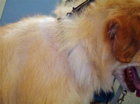 alopecia pomeranian clipper alopecia atomic canine