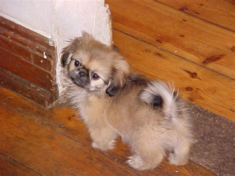 pekingese puppy search results for golden retriever pinscher mix black hairstyle and haircuts