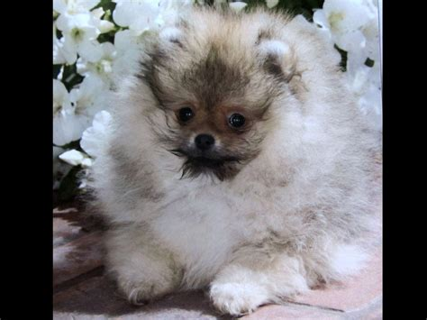 kennel club pomeranian breeders pomeranian for sale by kleinberg american kennel club