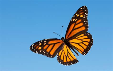 of a butterfly butterfly flying wallpaper