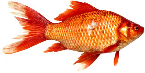 fish pictures fish png images transparent pictures png only