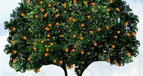 potatura arancio in vaso come coltivare l arancio agrumi come coltivare l arancio