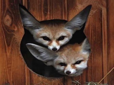 Baby Fennec Fox Wallpaper - two fennec foxes are better than one other animals
