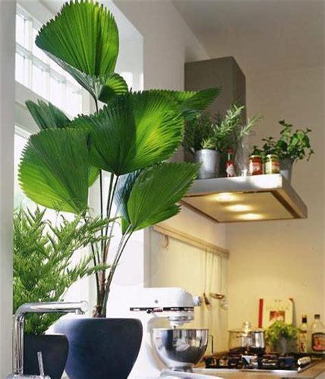 goldfruchtpalme wohnzimmer licuala palme bild 5 living at home