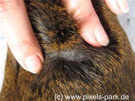 meerschweinchen schuppen im fell meerschweinchen info pilzbefall beim meerschweinchen