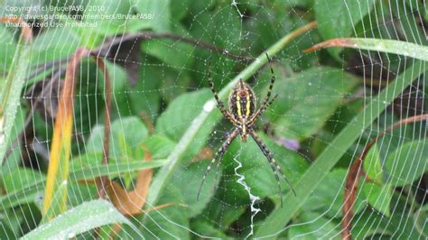 Garden Spider In Pa Bug Pictures Banded Argiope Banded Garden Spider Banded