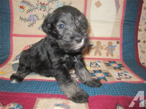 schnauzer puppies for sale in tn blooded miniature schnauzers puppies for sale in newport tennessee classified
