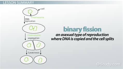 design lead meaning binary fission www pixshark com images galleries with