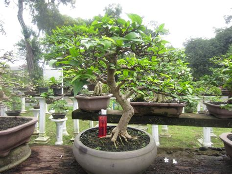jual tanaman hias bonsai sweimi anting putri murah
