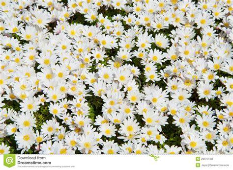 immagini di fiori margherite fiori delle margherite bianche fotografia stock immagine