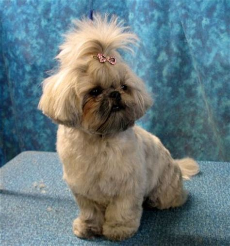 shih tzu photos grooming styles shih tzu grooming styles image search results