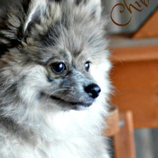 why do pomeranians bark so much costume ideas for adults