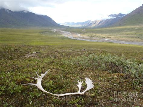 Caribou Shed Antlers atigun valley caribou shed photograph by adam owen