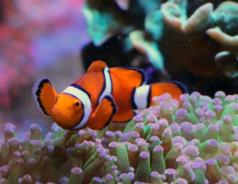 colored clown different colored clown fish www imgkid the image