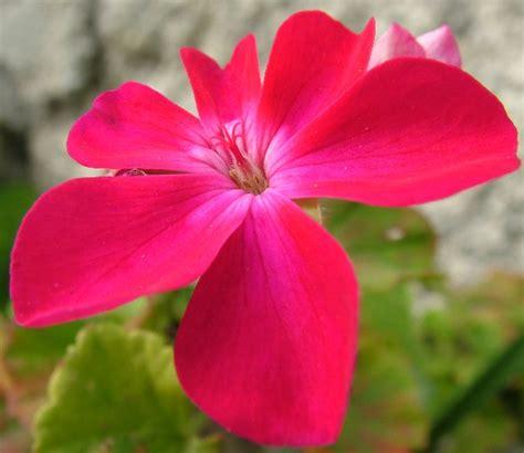 fiori geranio fiore geranio fotografia fiori